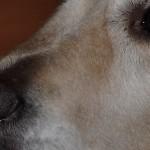 Pies asystujący Igor